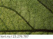 Купить «Зелёный лист яблони. Фактура», фото № 23276787, снято 15 июля 2020 г. (c) Mike The / Фотобанк Лори