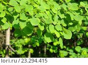 Купить «Молодая листва осины обыкновенной (лат. Populus tremula)», эксклюзивное фото № 23294415, снято 27 мая 2016 г. (c) Елена Коромыслова / Фотобанк Лори