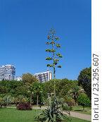 Купить «Цветущая агава в городском парке Сочи», фото № 23295607, снято 16 июля 2016 г. (c) DiS / Фотобанк Лори