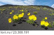 Купить «Мак мелкоплодный, растущий на вулканическом шлаке колышется на ветру (4K)», видеоролик № 23300191, снято 18 ноября 2017 г. (c) А. А. Пирагис / Фотобанк Лори