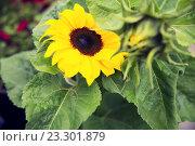 Купить «close up of blooming sunflower in garden», фото № 23301879, снято 27 июля 2015 г. (c) Syda Productions / Фотобанк Лори