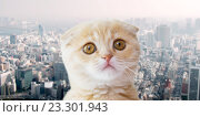 Купить «close up of scottish fold kitten over city», фото № 23301943, снято 19 июля 2015 г. (c) Syda Productions / Фотобанк Лори