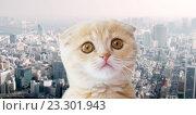 Купить «close up of scottish fold kitten over city», фото № 23301943, снято 19 июля 2015 г. (c) Syda Productions / Фотобанк Лори