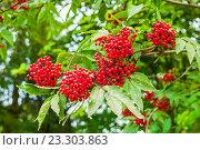 Купить «Ветка с красными ягодами бузины», фото № 23303863, снято 15 июля 2016 г. (c) Зезелина Марина / Фотобанк Лори