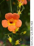 Купить «Оранжевый цветок южной лианы кампсиса крупноцветкового на зеленом фоне (лат. Campsis grandiflora)», фото № 23305163, снято 10 июля 2016 г. (c) Виктория Катьянова / Фотобанк Лори
