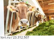 Купить «Cows in the farm stall cowshed eating fresh green grass», фото № 23312507, снято 11 июля 2016 г. (c) Дмитрий Калиновский / Фотобанк Лори