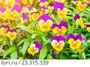 Купить «Желтые с фиолетовым анютины глазки, летние цветы», фото № 23315339, снято 1 июля 2016 г. (c) Зезелина Марина / Фотобанк Лори