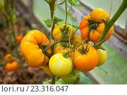 Гроздь жёлтых томатов. Стоковое фото, фотограф Юлия Морозова / Фотобанк Лори
