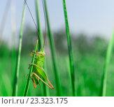 Кузнечик сидит на травинке. Стоковое фото, фотограф Алексей Безрук / Фотобанк Лори
