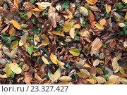 Фон из опавших осенних листьев. Стоковое фото, фотограф Алексей Костенко / Фотобанк Лори