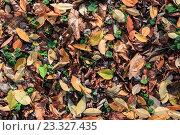 Опавшие осенние листья. Стоковое фото, фотограф Алексей Костенко / Фотобанк Лори