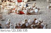 Купить «baby chickens on poultry farm», видеоролик № 23330135, снято 5 июня 2016 г. (c) Яков Филимонов / Фотобанк Лори