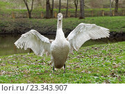 Серый лебедь-шипун расправил крылья в парке у пруда, эксклюзивное фото № 23343907, снято 24 апреля 2016 г. (c) Константин Косов / Фотобанк Лори