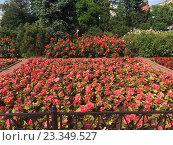 Купить «Цветущие клумбы в Александровском саду, Москва», фото № 23349527, снято 20 июня 2016 г. (c) Татьяна Кахилл / Фотобанк Лори