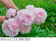 Купить «Куст розовых пионов Сара Бернар на грядке в руках садовода», фото № 23349563, снято 27 июня 2016 г. (c) Максим Мицун / Фотобанк Лори