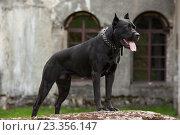 Черная собака породы Кане Корсо. Стоковое фото, фотограф Михаил Гойко / Фотобанк Лори