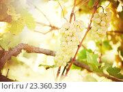 Купить «Green grape on vineyard», фото № 23360359, снято 22 сентября 2015 г. (c) Дмитрий Калиновский / Фотобанк Лори