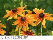 Цветы рудбекии на фоне травы. Стоковое фото, фотограф Наталья Гармашева / Фотобанк Лори