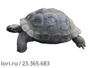 Купить «Слоновая черепаха на белом фоне изолировано», фото № 23365683, снято 5 августа 2016 г. (c) Наталья Волкова / Фотобанк Лори
