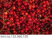 Купить «Ягоды красной смородины. Фон», фото № 23366135, снято 9 июля 2016 г. (c) Литвяк Игорь / Фотобанк Лори