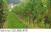 Купить «Red grapes bunches», видеоролик № 23366419, снято 1 августа 2016 г. (c) Игорь Жоров / Фотобанк Лори