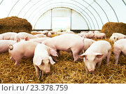Купить «Herd of young piglet at pig breeding farm», фото № 23378759, снято 23 августа 2012 г. (c) Дмитрий Калиновский / Фотобанк Лори