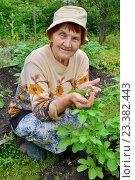 Купить «Пожилая женщина садовод улыбается у грядки цветущего картофеля на садовом участке», фото № 23382443, снято 27 июня 2016 г. (c) Максим Мицун / Фотобанк Лори