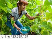 Купить «Женщина в возрасте собирает урожай в теплице», фото № 23389139, снято 5 августа 2016 г. (c) Катерина Белякина / Фотобанк Лори