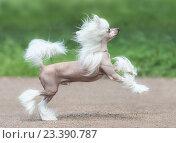 Купить «Молодая собака породы Китайская хохлатая голая», фото № 23390787, снято 10 августа 2016 г. (c) Абрамова Ксения / Фотобанк Лори