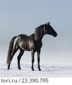 Купить «Вороной конь стоит на снегу», фото № 23390795, снято 20 января 2015 г. (c) Абрамова Ксения / Фотобанк Лори