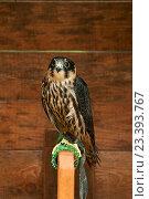 Купить «Чеглок (Falco subbuteo) - небольшая хищная птица отряда соколиных», фото № 23393767, снято 10 августа 2016 г. (c) Зезелина Марина / Фотобанк Лори