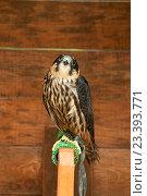 Купить «Чеглок (Falco subbuteo) - небольшая хищная птица отряда соколиных, сидящая на жердочке», фото № 23393771, снято 10 августа 2016 г. (c) Зезелина Марина / Фотобанк Лори