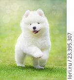 Купить «Полуторамесячный щенок самоедской собаки», фото № 23395307, снято 12 августа 2016 г. (c) Абрамова Ксения / Фотобанк Лори