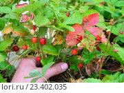 Купить «Рука держит растущий куст земляники со спелыми ягодами», фото № 23402035, снято 27 июня 2016 г. (c) Максим Мицун / Фотобанк Лори