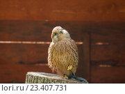 Купить «Пустельга - Falco tinnunculus - хищная птица отряда соколиных, сидящая с поджатой лапкой. Портрет пустельги в неволе.», фото № 23407731, снято 12 августа 2016 г. (c) Зезелина Марина / Фотобанк Лори