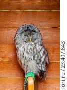 Купить «Уральская сова неясыть - Strix uralensis», фото № 23407843, снято 12 августа 2016 г. (c) Зезелина Марина / Фотобанк Лори