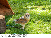 Купить «Обыкновенная сипуха - Tyto Alba - в неволе. Портрет совы сипухи.», фото № 23407851, снято 12 августа 2016 г. (c) Зезелина Марина / Фотобанк Лори