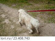 Собака тянет на поводке. Стоковое фото, фотограф Никита Вишневецкий / Фотобанк Лори