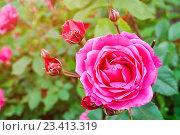 Купить «Куст с ярко-розовой розой. Софт фильтр.», фото № 23413319, снято 22 июня 2016 г. (c) Зезелина Марина / Фотобанк Лори