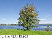 Купить «Дерево рябина на берегу реки», фото № 23415903, снято 11 августа 2016 г. (c) Алина Сбитнева / Фотобанк Лори