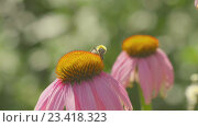 Bumblebee on a Echinacea flower. Стоковое видео, видеограф Игорь Жоров / Фотобанк Лори
