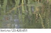Купить «Водомерки на пруду (Gerridae) — семейство полужесткокрылых насекомых из подотряда клопов (Heteroptera)», видеоролик № 23420651, снято 2 июля 2016 г. (c) Олег Хархан / Фотобанк Лори