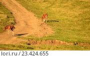 Купить «Жеребята на пастбище в конце лета», видеоролик № 23424655, снято 22 августа 2016 г. (c) Валерий Гусак / Фотобанк Лори