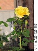 Свежая раскрывшаяся жёлтая роза, вертикальный кадр. Стоковое фото, фотограф Ирина Водяник / Фотобанк Лори