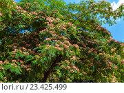 Купить «Персидское шелковое дерево (Альбиция Ленкоранская)», фото № 23425499, снято 1 июня 2009 г. (c) Ростислав Агеев / Фотобанк Лори