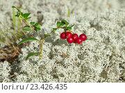 Купить «Спелые ягоды брусники (лат. Vaccinium vitis-idaea) на фоне ягеля», фото № 23426435, снято 8 августа 2016 г. (c) Елена Коромыслова / Фотобанк Лори