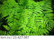 Купить «Leaves of fern. Natural background», фото № 23427087, снято 3 июня 2016 г. (c) Татьяна Белова / Фотобанк Лори