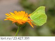 Купить «Бабочка лимонница на цветке календулы», фото № 23427391, снято 16 июля 2016 г. (c) Евгений Дробжев / Фотобанк Лори