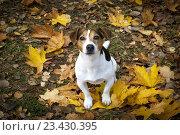 Купить «Собака сидит на осенних листьях», фото № 23430395, снято 14 октября 2015 г. (c) Kira_Yan / Фотобанк Лори