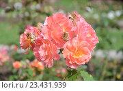 Купить «Розы в саду», фото № 23431939, снято 19 июля 2016 г. (c) Ирина Носова / Фотобанк Лори